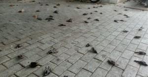 Απίστευτες εικόνες στη Χαλκίδα με εκατοντάδες νεκρά πουλιά στην παραλία