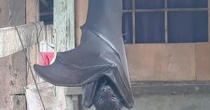 Τι είναι οι νυχτερίδες σε «μέγεθος ανθρώπου» που τρομοκράτησαν το ίντερνετ