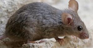 Σε προκαταρκτική εξέταση προχωρά η 7η ΥΠΕ Κρήτης για το περιστατικό με το δάγκωμα ποντικού