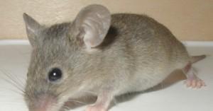 Σοβαρή καταγγελία για οικοδόμο στην Κρήτη που δαγκώθηκε από ποντικό και δεν υπήρχε ορός!