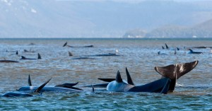 Δεκάδες φάλαινες που έχουν παγιδευτεί στην Τασμανία προσπαθούν να σώσουν οι επιστήμονες
