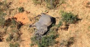 Μποτσουάνα: Λύθηκε το μυστήριο με τους θανάτους ελεφάντων - Οφείλονται σε κυανοβακτήρια