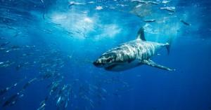 Έγκυος έπεσε στη θάλασσα για να σώσει τον άντρα της από τα δόντια καρχαρία