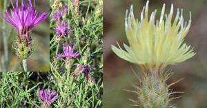 Μωβ λουλουδάκι εντοπίστηκε για πρώτη φορά στο όρος Ντέβας, στις Πρέσπες