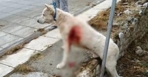 Ο Έκτορας, ο σκύλος που μαχαιρώθηκε στη Νίκαια, επέστρεψε στον ιδιοκτήτη του