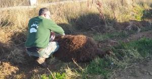 Νεκρή σε τροχαίο αρκούδα 250 κιλών στη Μεσοποταμία Καστοριάς