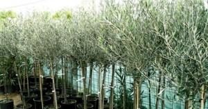 Ινστιτούτο Ελιάς Χανίων: Πιστοποιημένα δενδρύλλια των 10 πιο εμπορικών ποικιλιών ελιάς