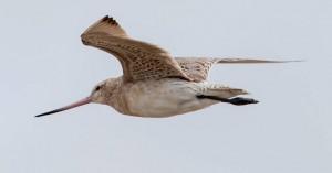 Πουλί θέτει νέο ρεκόρ πετώντας χωρίς στάση από την Αλάσκα ως τη… Νέα Ζηλανδία