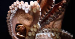Το σπάνιο χταπόδι με τα 9 πόδια που κατέληξε στην κατσαρόλα ψαρά