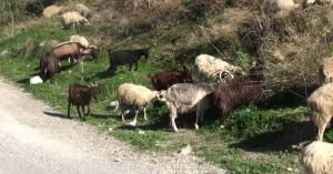 Τα τσουχτερά πρόστιμα που θα πέφτουν σε ιδιοκτήτες ζώων που προκαλούν αγροζημιές