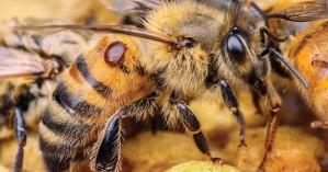 ΙΤΕ: Πως η Βαρρόα της μέλισσας αντιστέκεται στα εντομοκτόνα