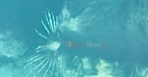 Προσοχή! Λεοντόψαρο εντοπίστηκε στη θάλασσα της Σούδας στα Χανιά (φωτο)