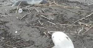 Φρίκη στην Κασπία: Περισσότερες από 150 φώκιες βρέθηκαν νεκρές σε παραλία