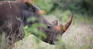 Ινδονησία: Εντοπίστηκαν δύο σπάνιοι ρινόκεροι της Ιάβας