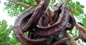 Χαρουπιά (Ceratonia siliqua): Πρόσφατα προβλήματα και αντιμετώπιση