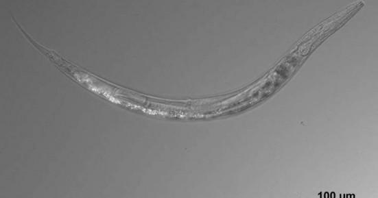 Το σκουλήκι που έχει τρία φύλα… ταυτοχρόνως