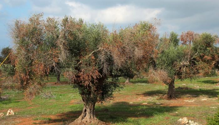 Σήμα κινδύνου απο την Ε.Ε. για το βακτήριο που ξεραίνει τα ελαιόδεντρα