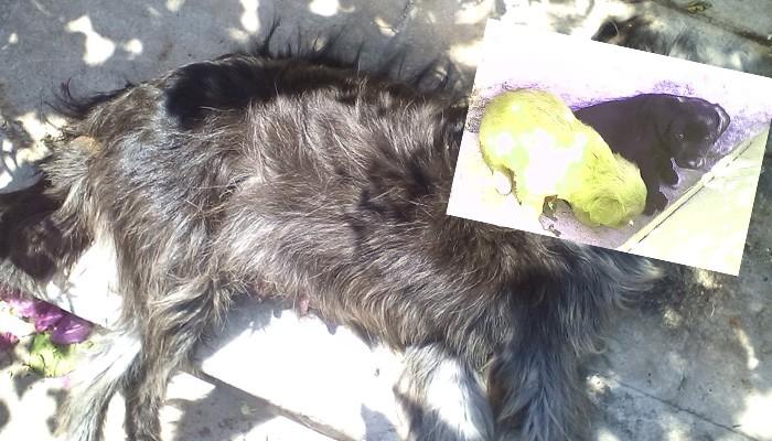 Δηλητηρίασαν σκυλίτσα που θήλαζε τα μικρά της