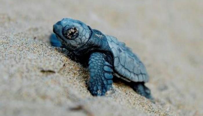 Συνεχίζονται οι εκσκαφές φωλιών χελωνών και τον Δεκαπενταύγουστο
