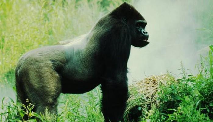 Ο εμφύλιος πόλεμος στο Κονγκό απειλεί σπάνιους γορίλες με εξαφάνιση