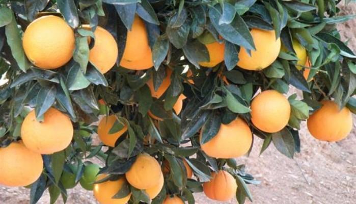 Απόφαση για την συνδεδεμένη πορτοκαλιών και τους μεμονωμένους παραγωγούς