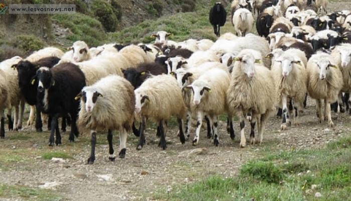 Στα κρατητήρια δύο για έξι αιγοπρόβατα
