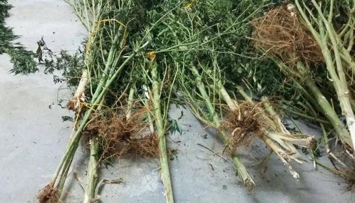 Τριανταεξάχρονος καλλιεργούσε δενδρύλλια κάνναβης στο Ρέθυμνο