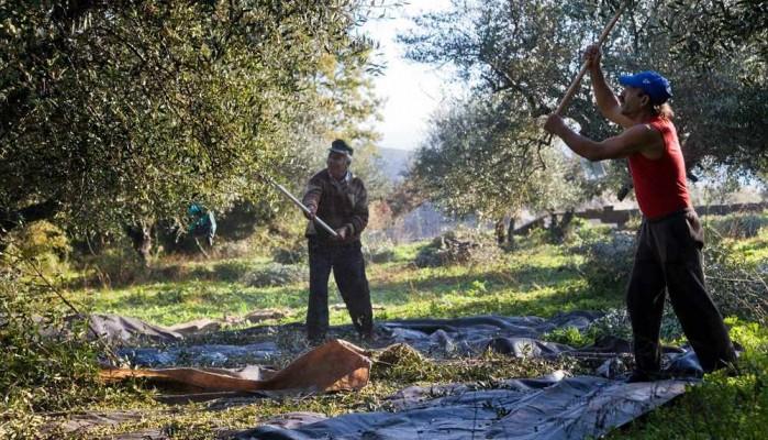 Συνιστάται η πρώιμη συγκομιδή ελαιοκάρπου στην Κρήτη
