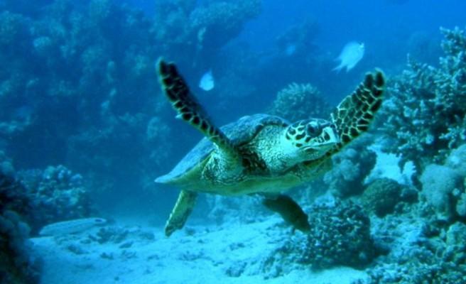 Νεκρή χελώνα Καρέτα - Καρέτα στον Καλαθά