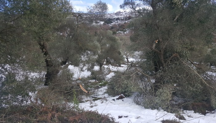 Τι πρέπει να κάνουν μετά τον χιονιά οι παραγωγοί που έχουν ελιές ή αβοκάντο