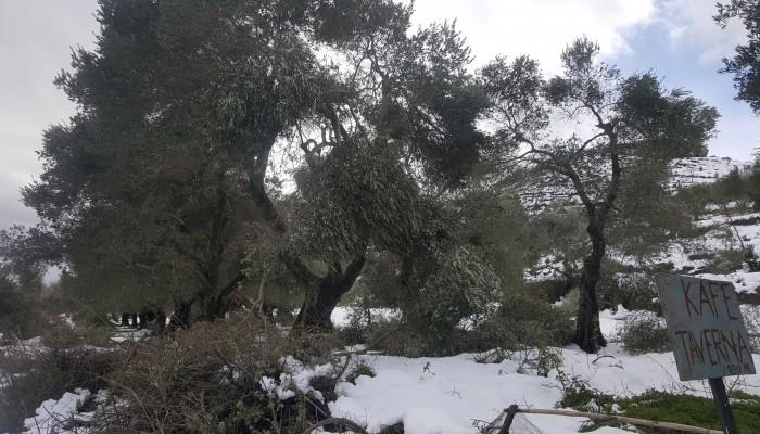 Δήμος Πλατανιά: Καθαρισμός δένδρων από κλαδιά που υπέστησαν ζημίες