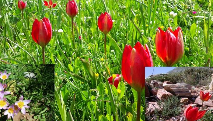 Η Κρητική τουλίπα και άλλα 3 είδη που ευδοκιμούν στην Κρήτη (φωτό)