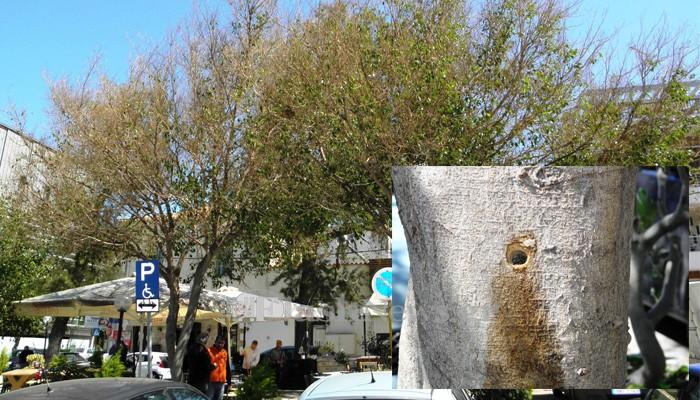 Δηλητηριάζουν τα δέντρα στην πλατεία Δικαστηρίων στα Χανιά (φωτο)