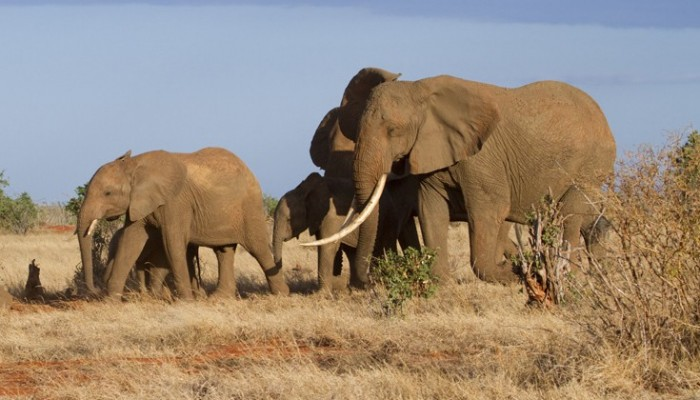 Σπάνιος ελέφαντας με γιγάντιους χαυλιόδοντες βρέθηκε νεκρός στην Κένυα
