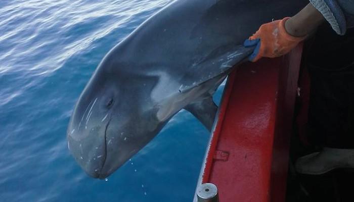 Σπάνιο είδος φάλαινας στα δίχτυα ψαρά στην Κίσσαμο