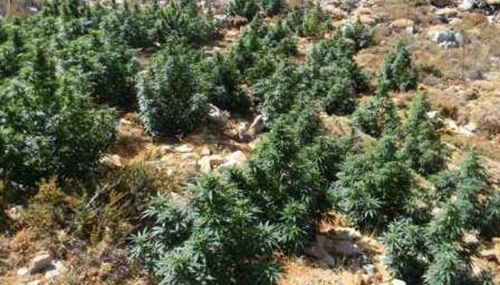 Βρέθηκε ο καλλιεργητής μιας από τις πολλές φυτείες κάνναβης στον Μυλοπόταμο