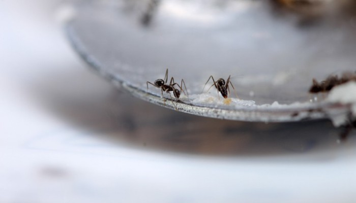Έτσι θα εξαφανίσεις εύκολα τα μυρμήγκια από την κουζίνα