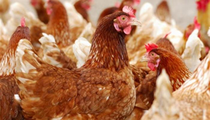 Την προσοχή όλων των κατόχων πτηνών εφιστά η κτηνιατρική ομάδα Χανίων