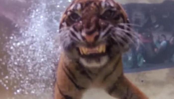 Το εκπληκτικό παιχνίδι μιας τίγρης κάτω από το νερό