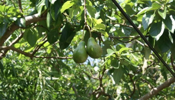 Σεμινάριο στο ΜΑΙΧ: Τα πάντα για την καλλιέργεια του αβοκάντο