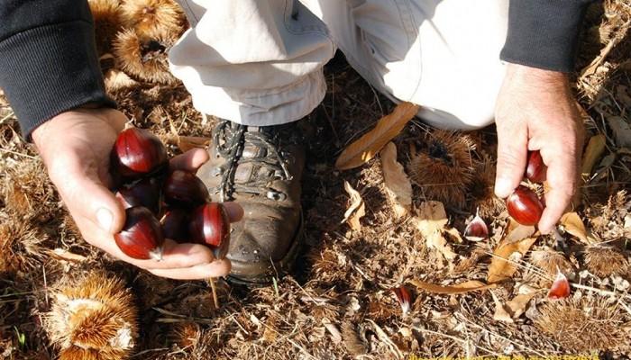 Δήμος Πλατανιά: Δήλωση ζημιάς για τα κάστανα