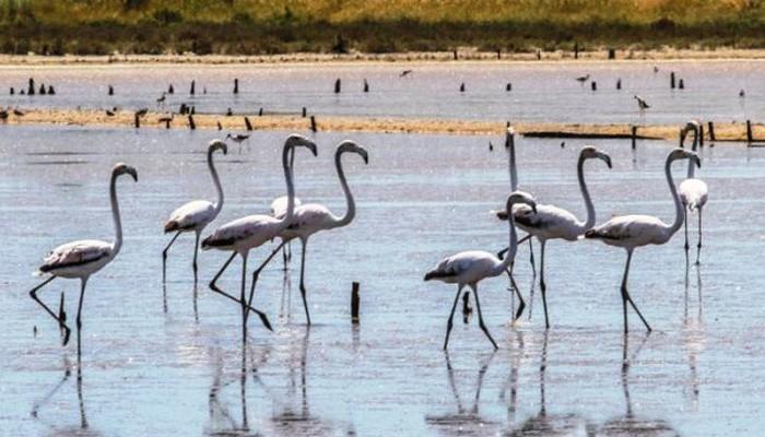 Μόνιμοι επισκέπτες τα Flamingos στις Αλυκές Λεχαινών