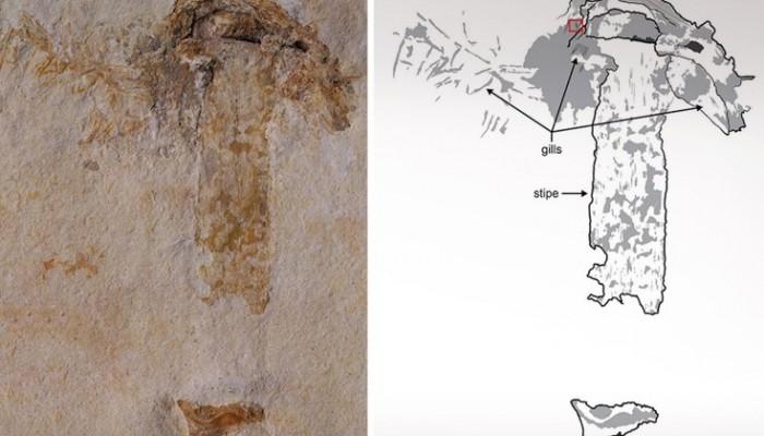 Ανακαλύφθηκε το αρχαιότερο απολίθωμα μανιταριού ηλικίας 115 εκατ. ετών