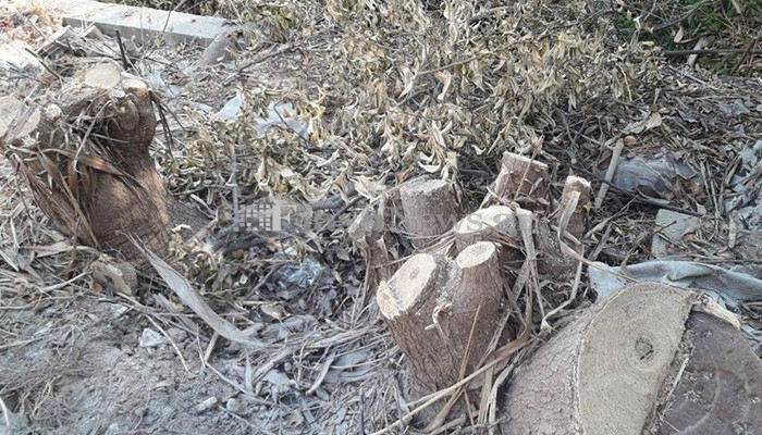Ποιοι έκοψαν τα δέντρα στα Κουνουπιδιανά; (φωτο)