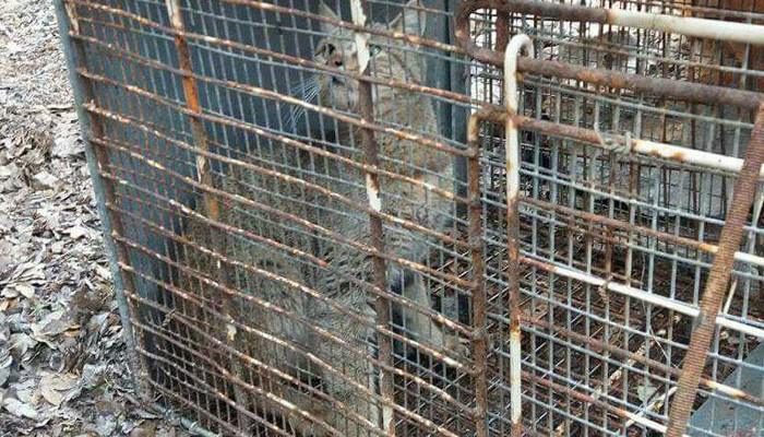 Γενετική ανάλυση – τσιπάρισμα και ελευθερία για τον «Φουρόγατο» του Ομαλού