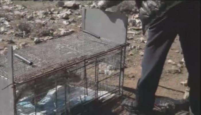 Ελευθέρωσαν τον φουρόγατο στα Λευκά Όρη - Δείτε το βίντεο