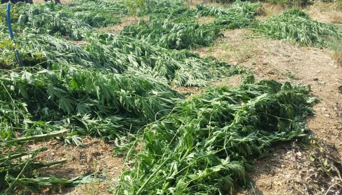 Βρήκαν τους ιδιοκτήτες των μεγάλων φυτειών κάνναβης στο Ρέθυμνο