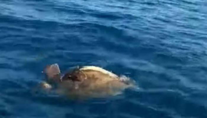 Χελώνες… ερωτοτροπούν στη θάλασσα της Αργολίδας (βίντεο)