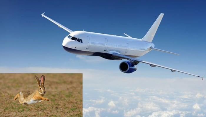 Ο….ιπτάμενος λαγός που πατήθηκε στον…αεροδιάδρομο Χανίων