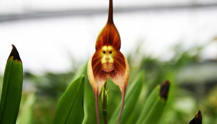 Μια ορχιδέα με «πρόσωπο» μαϊμούς!